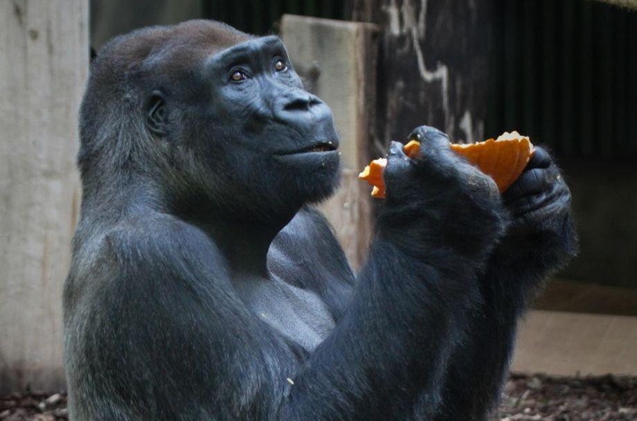 Gorilí samec Tadao