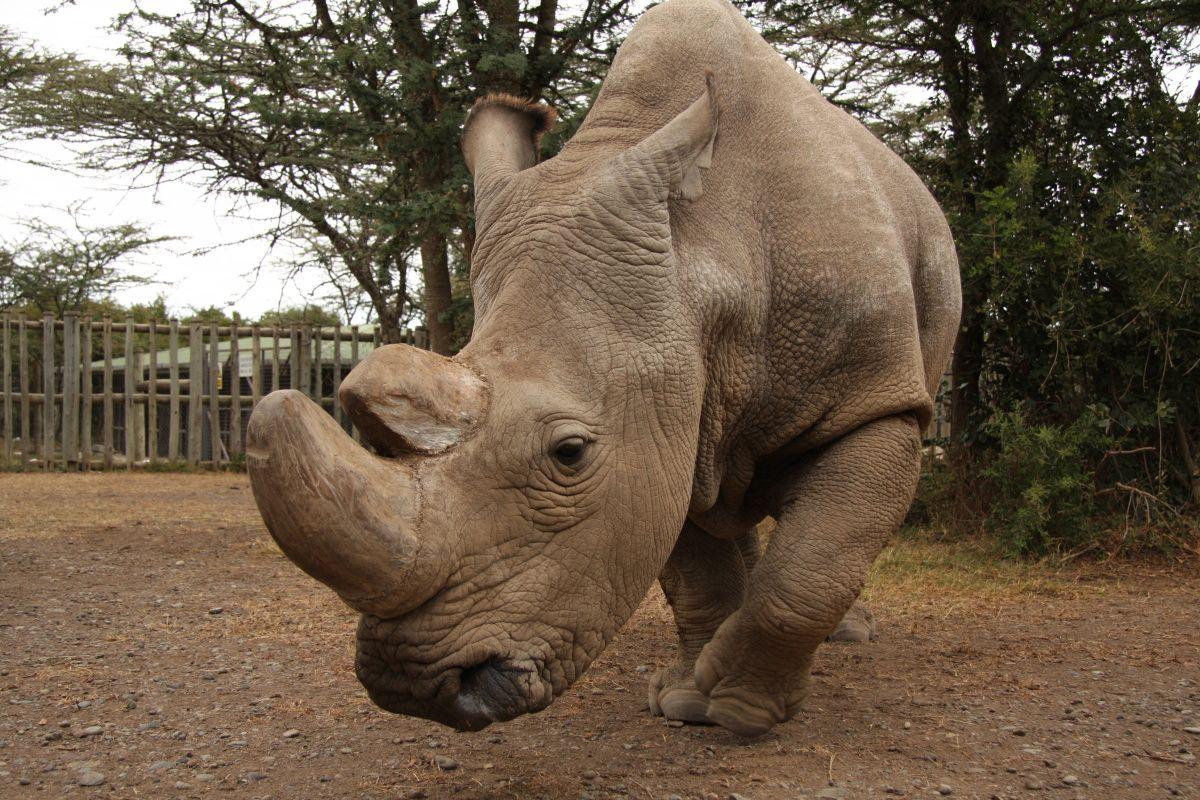 Sudán, poslední samec nosorožce tuponosého severního na světě