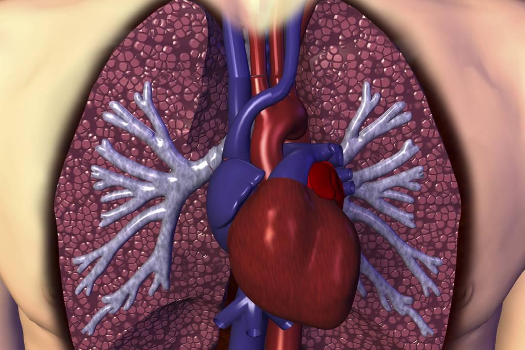 Lidské srdce a plíce
