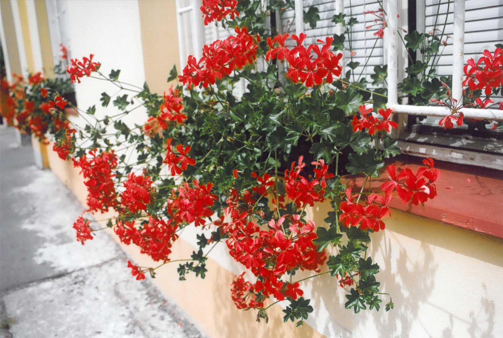 Muškát převislý (pelargonium peltatum)