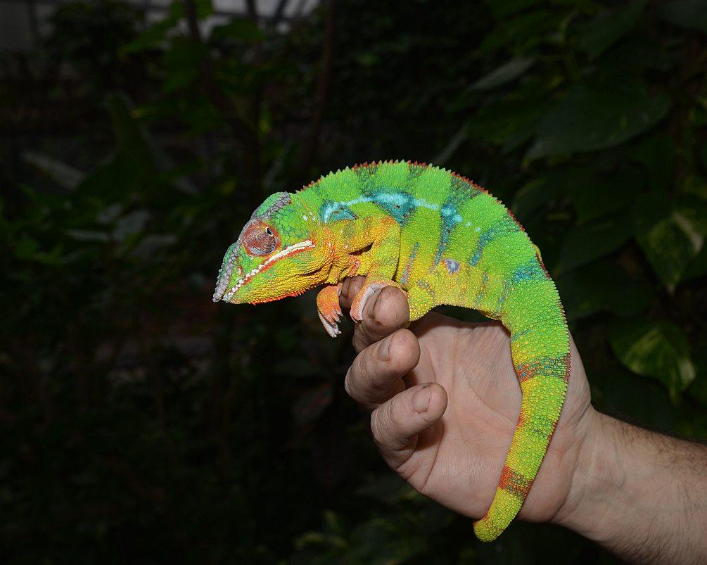 Chameleon pardálí - samec