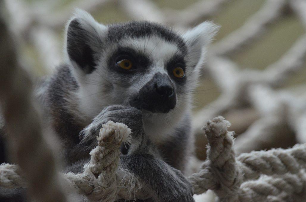 Lemur kata v ZOO Dvůr Králové nad Labem