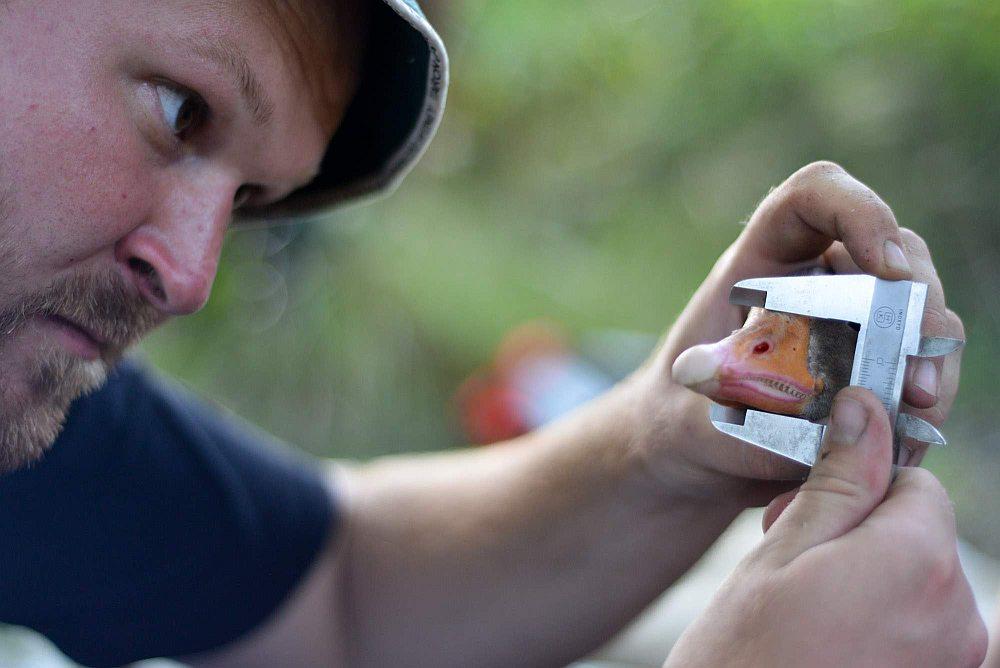 Husa velká - měření zobáku