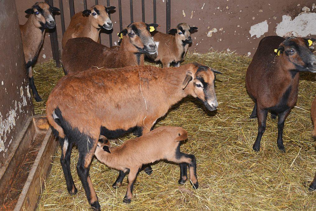 V ZOO patří mezi oblíbená zvířata překvapivě i ovce