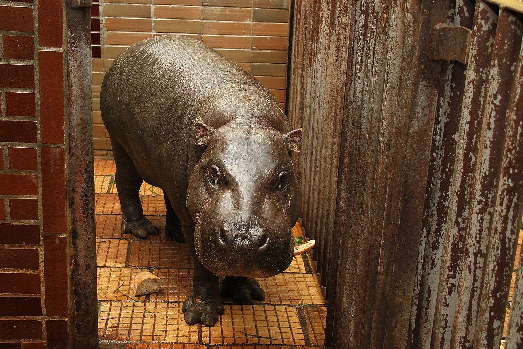 Kolekci chovaných zvířat rozšířila v těchto dnech královédvorská ZOO o nového hrošíka. Správně se jmenuje hrošík liberijský a ve volné přírodě byste se s ním setkali v západní Africe