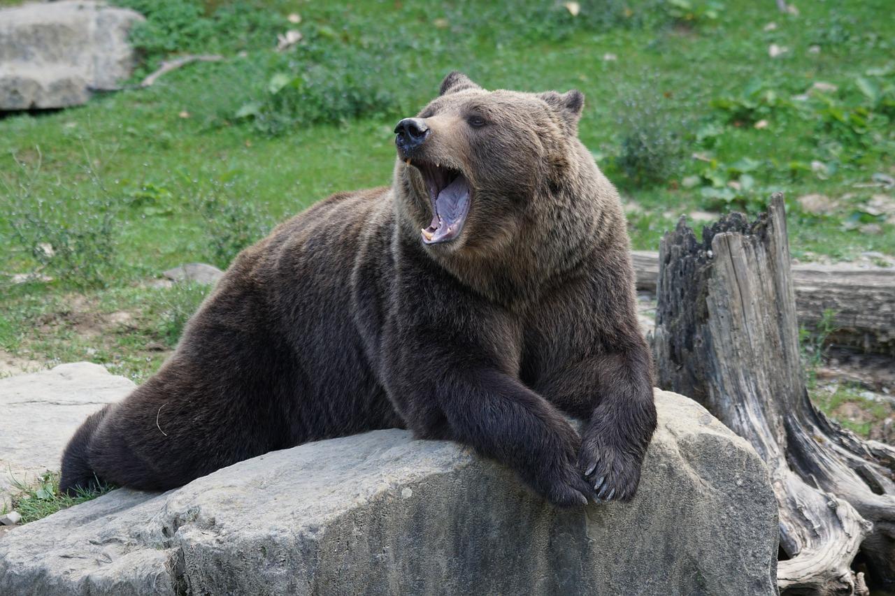 Medvěd hnědý šelma zoo