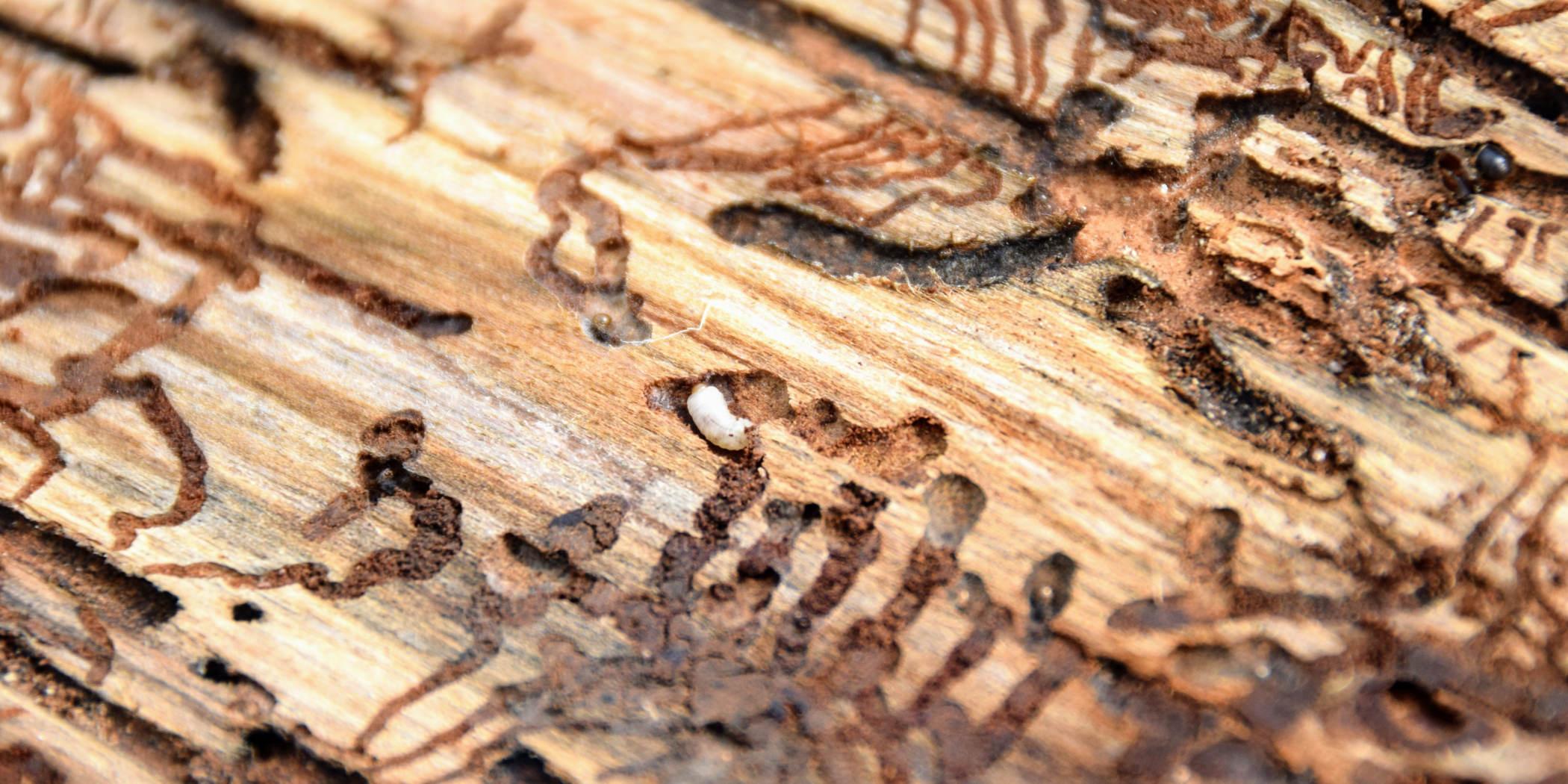 Larva kůrovce na rubu smrkové kůry