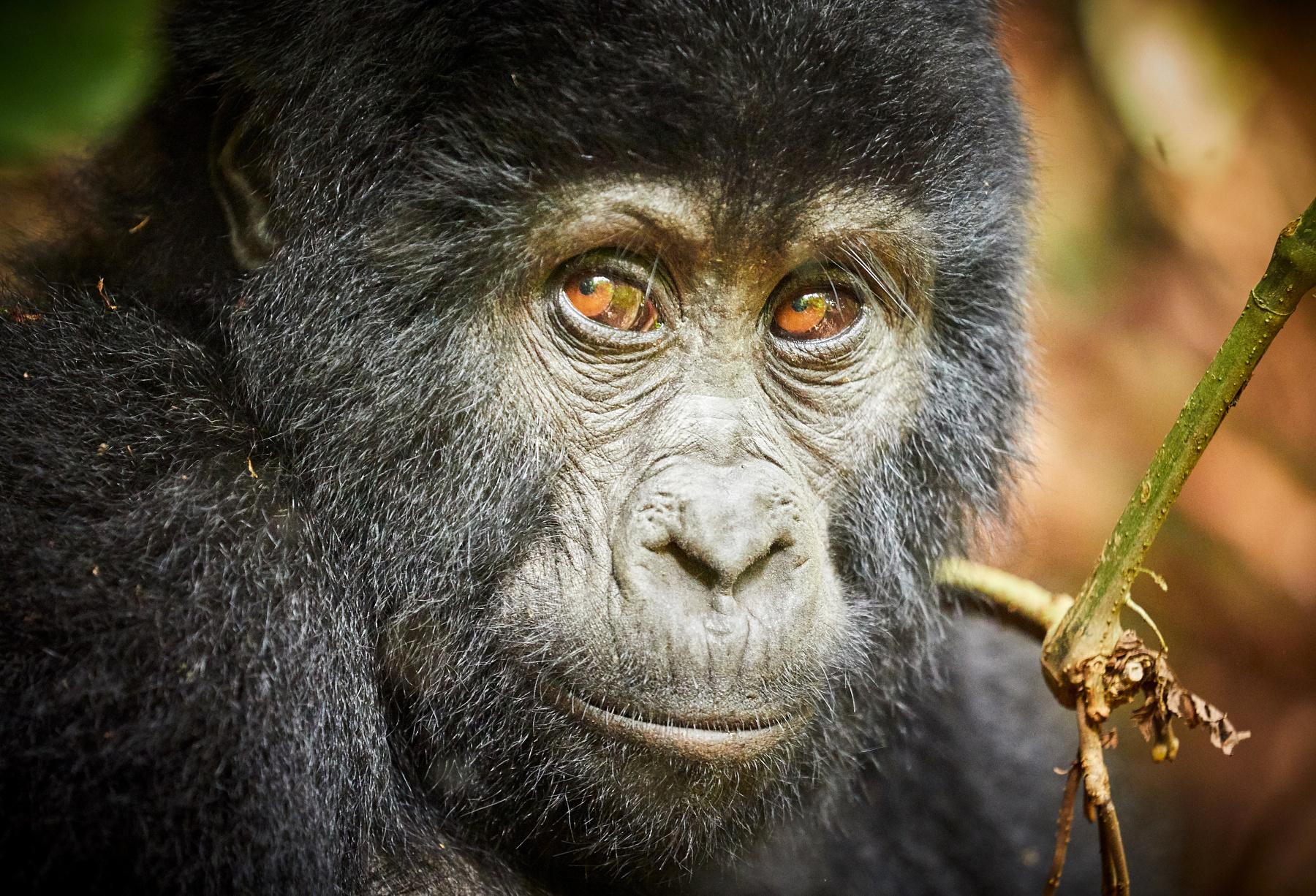 Po stopách horských goril v Ugandě