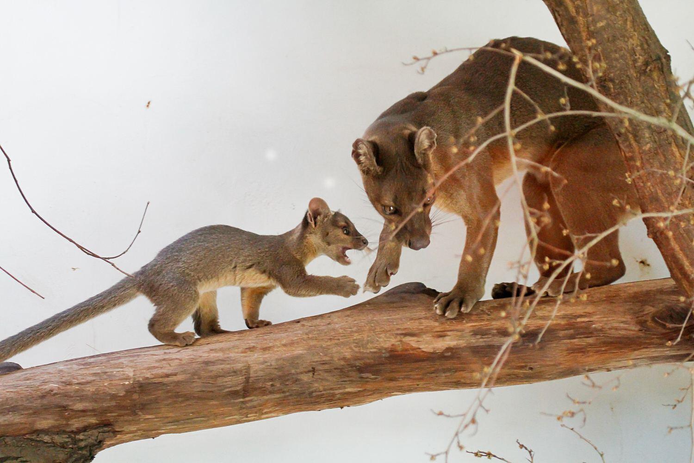 Mládě fosy madagaskarské v Safari Parku Dvůr Králové