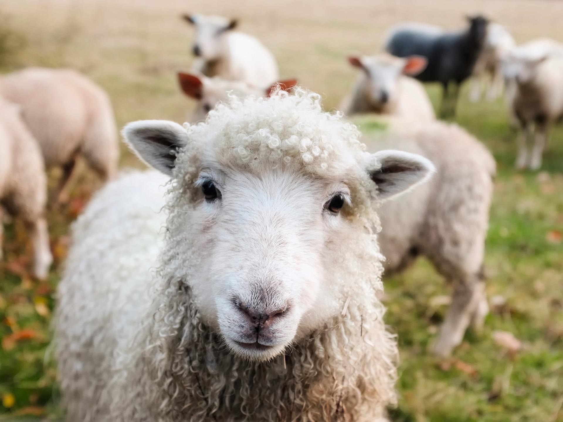 Ve dne v noci chrání farmáři na Broumovsku svá stáda ovcí před vlky (ilustrační foto)