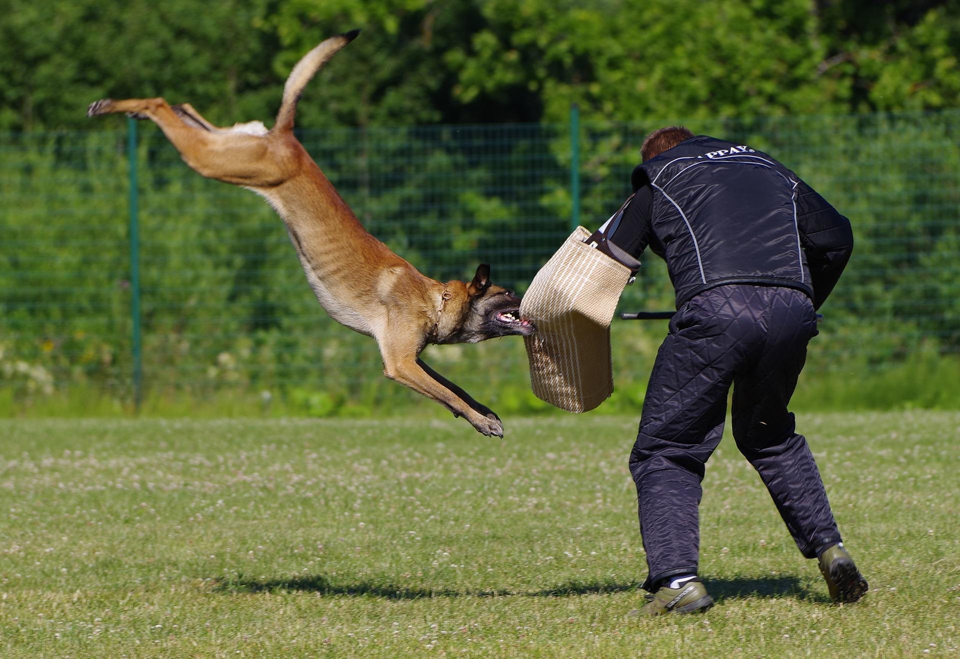 Belgický ovčák malinois při výcviku