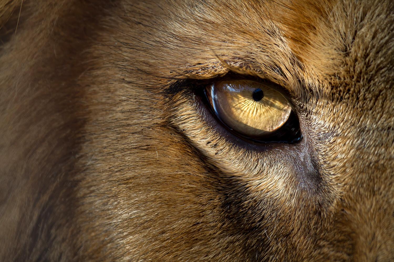 Lev berberský v Safari Parku Dvůr Králové