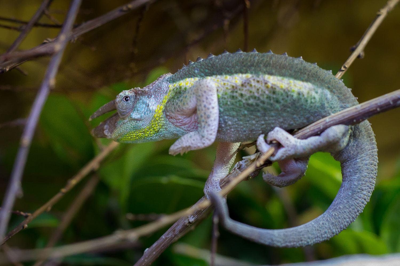 Chameleon Jacksonův vypadá trochu jako čert