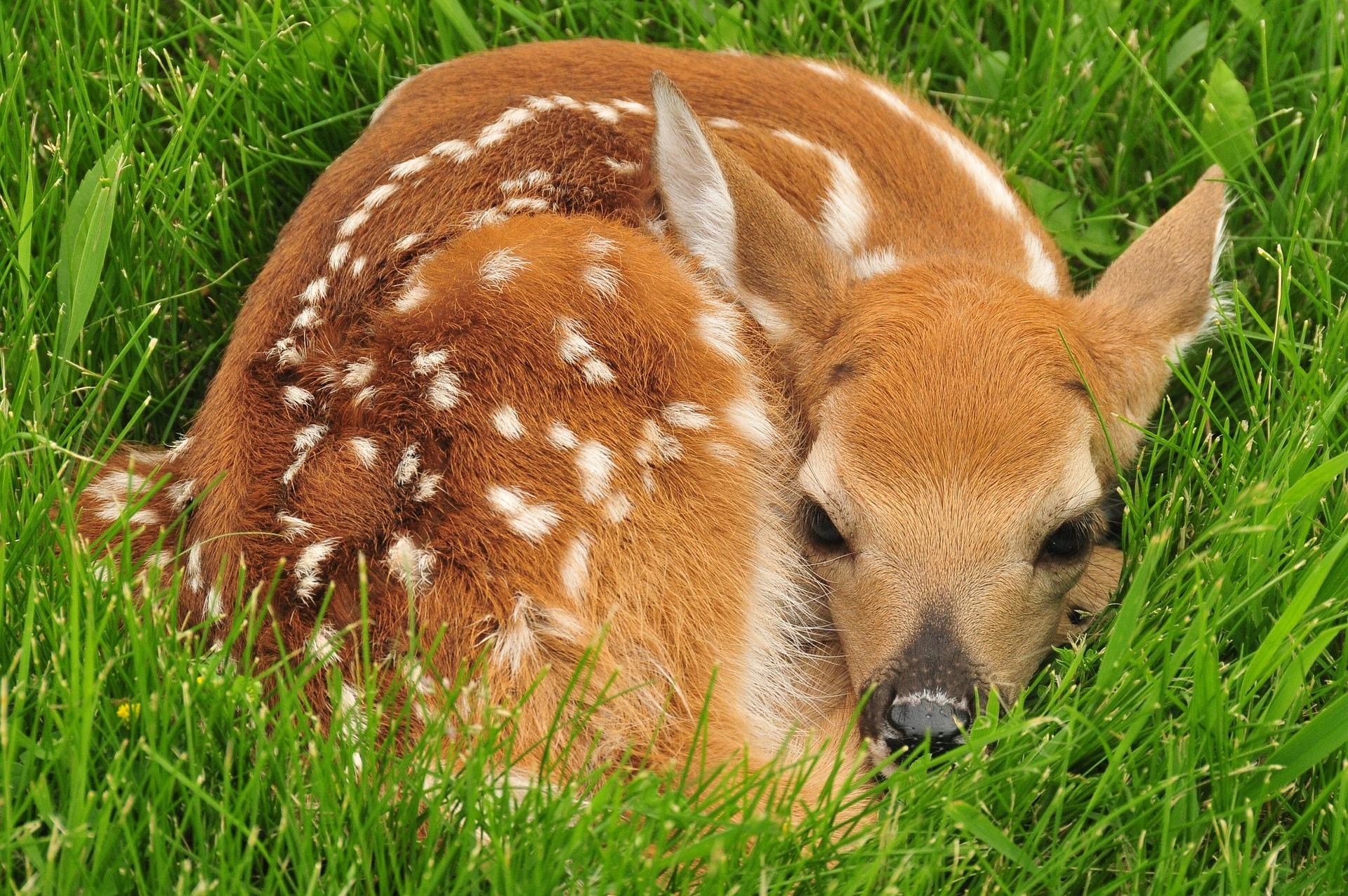 Srnče ukryté v trávě
