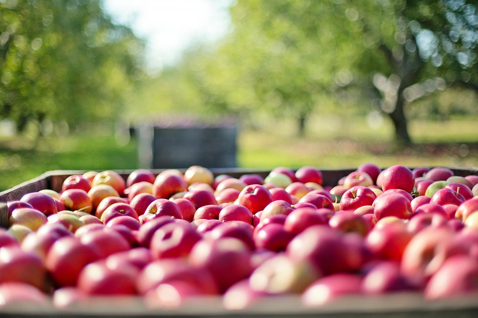 Jablka ve speciálních boxech v ZD Dolany vydrží čerstvá i několik let (ilustrační foto)