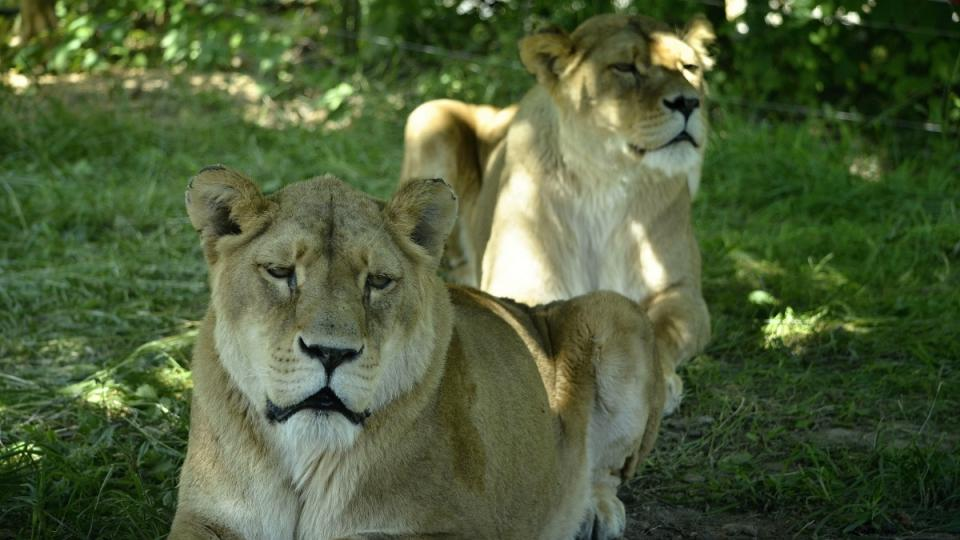 Lví safari, ZOO Dvůr Králové nad Labem