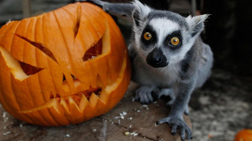 ZOO Dvůr Králové ovládnou dýně a strašidla. Tradiční Týden duchů začíná 22. října
