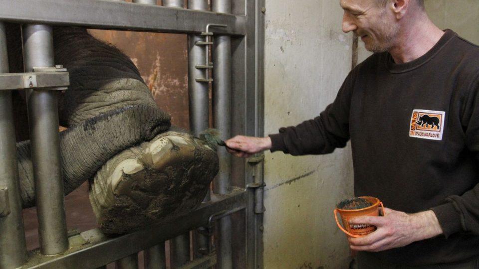 I sloni potřebují pedikúru. Trojice královédvorských slonů na ni chodí ochotně