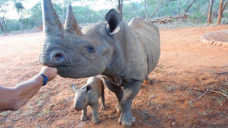 Dvorský pár Deborah a Jamie přivedli v Mkomazi na svět už třetí mládě, opět samičku