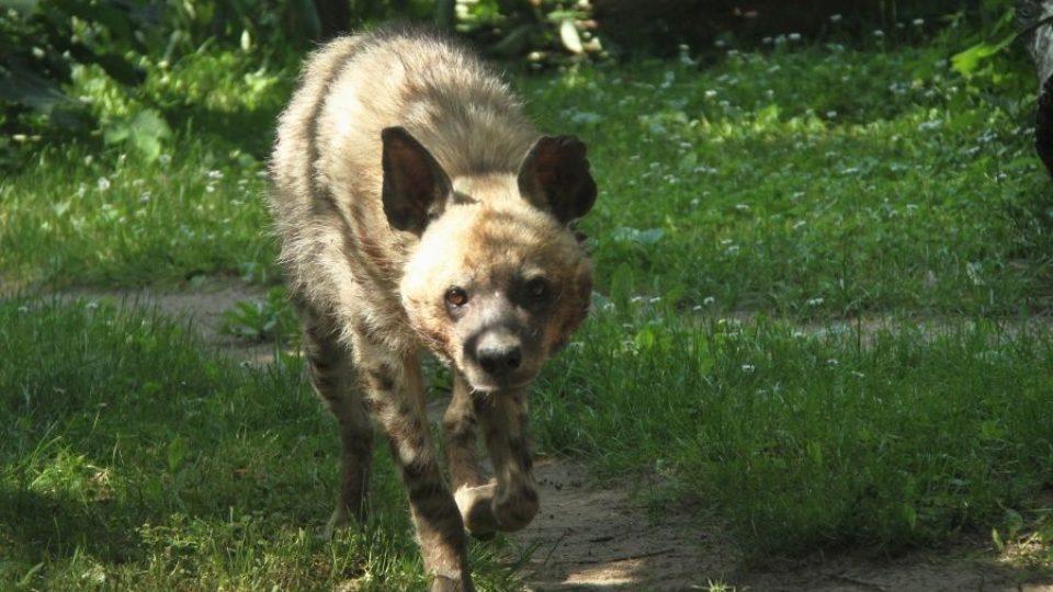 Do ZOO Dvůr Králové se po 30 letech vrací hyeny žíhané