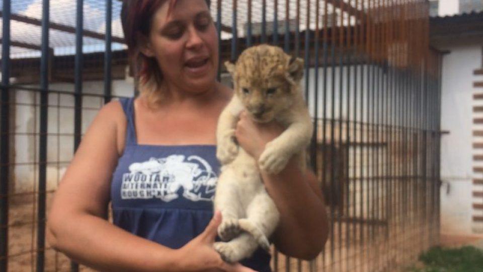 Hned několik lvů včetně čtyř přibližně měsíc starých lvíčat mají v Bioparku Štít u Chlumce nad Cidlinou