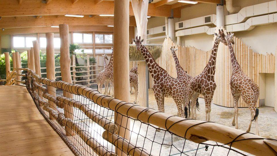 Zimní expozice žiraf v Safari Parku Dvůr Králové