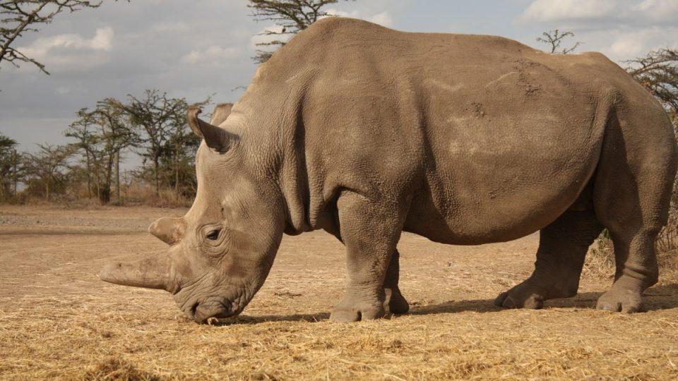 Nosorožec Najin v Keni v roce 2017