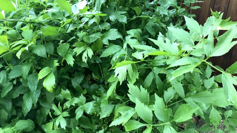 Čisté libečkové listy otrhejte ze stvolů (můžete je i zmrazit a v zimě přidávat do polévek, nebo při vaření brambor; pak je nezapomeňte vyndat a vyhodit)