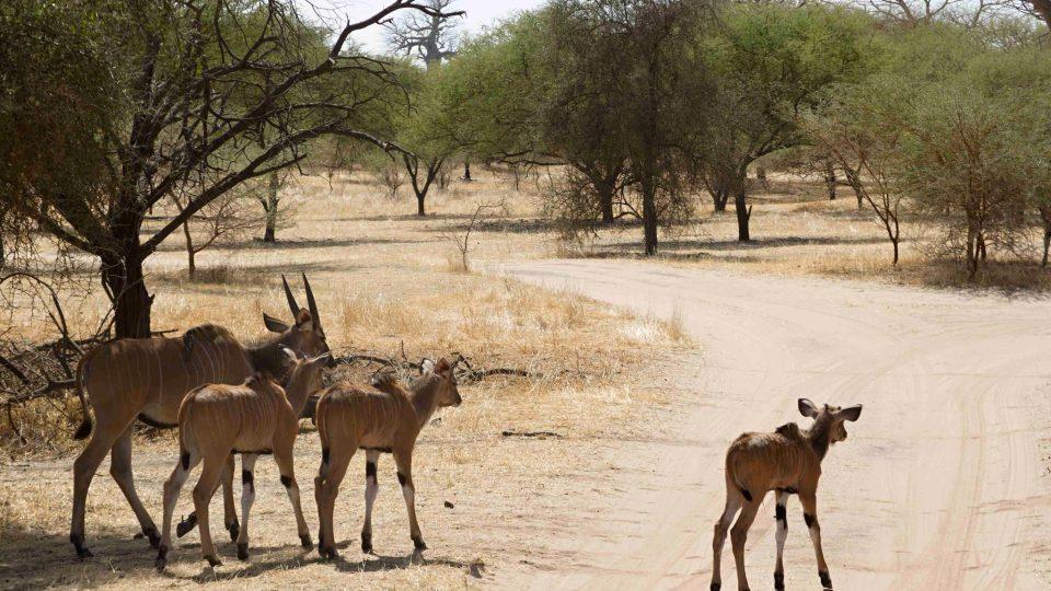 Antilopa Derbyho - mláďata