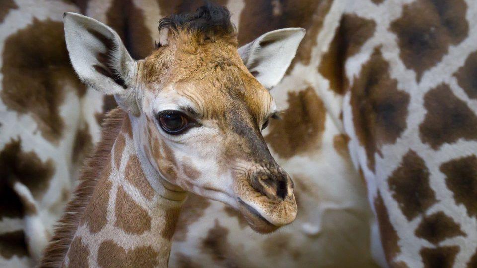 Vánoční žirafí mládě Olivia v Safari Parku Dvůr Králové