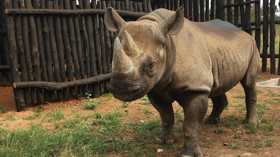 Pět kriticky ohrožených nosorožců černých bylo úspěšně přepraveno ze Safari Parku ve Dvoře Králové do národního parku Akagera ve Rwandě