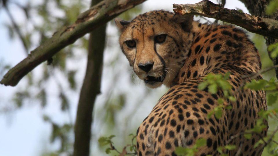 Nový výběh gepardů ve dvorském safari parku