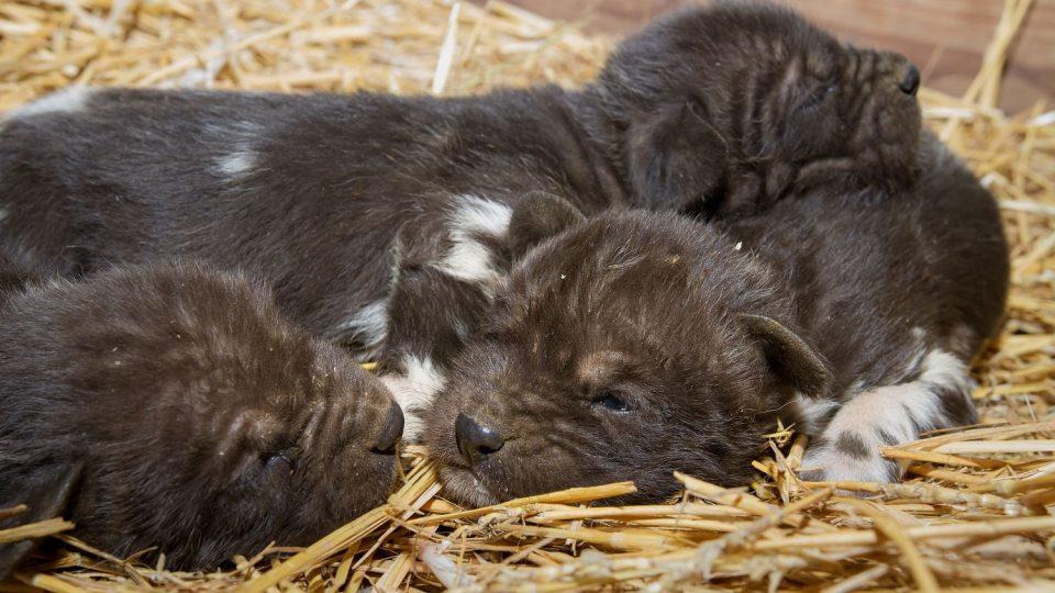 Smečka vzácných psů hyenových se rozrostla o šest nových štěňat