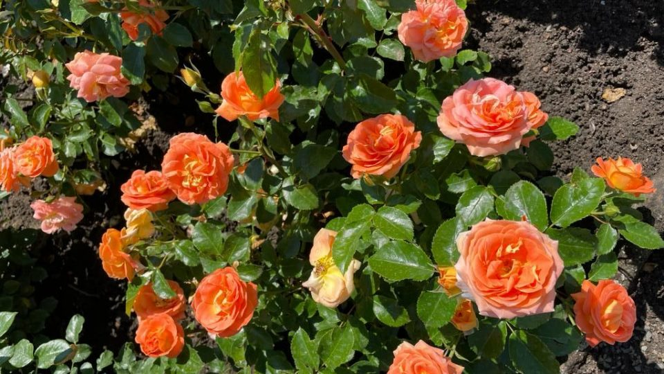 Kouzelné království růží můžete obdivovat v královéhradeckém soutěžním rozáriu v Kuklenách