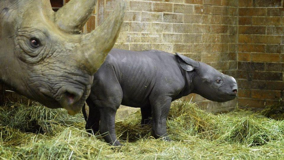 Mládě nosorožce černého v Safari Parku Dvůr Králové