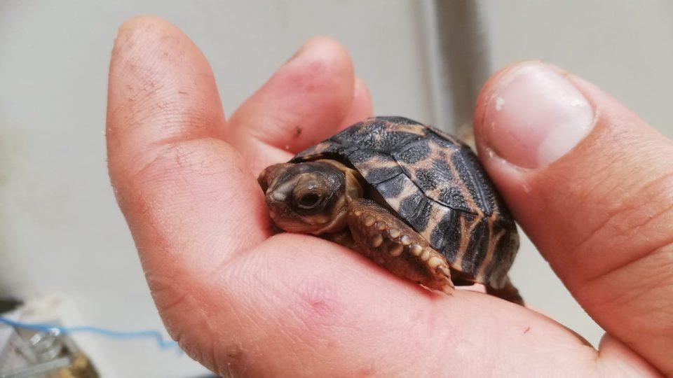 Mládě želvy paprsčité v Safari Parku Dvůr Králové