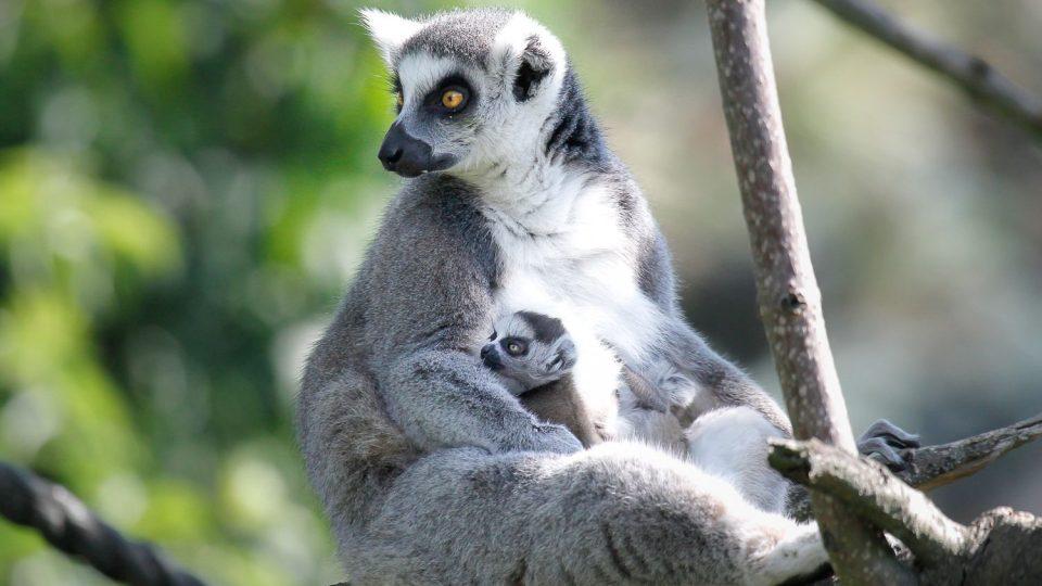 Mládě lemurů