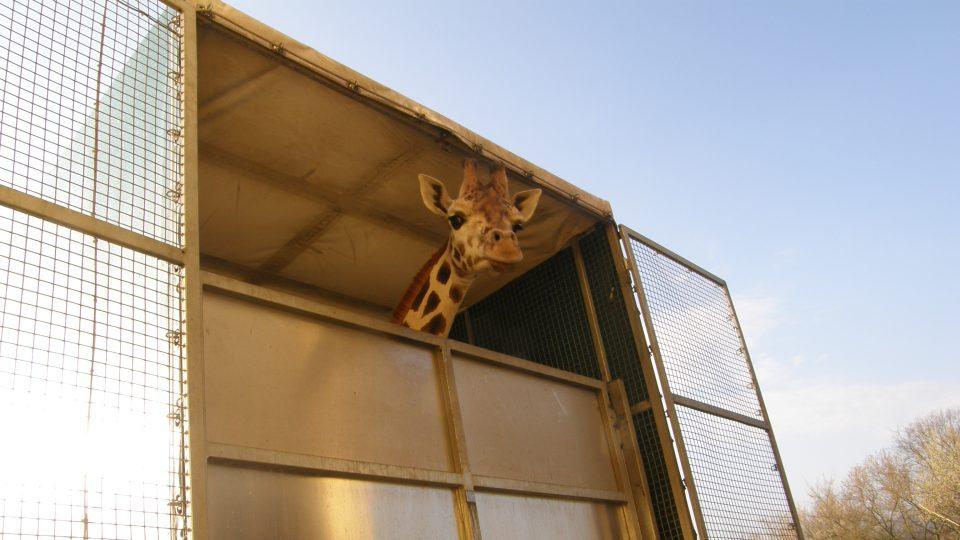 Žirafy z Ústi na cestě do Poznaně 2012
