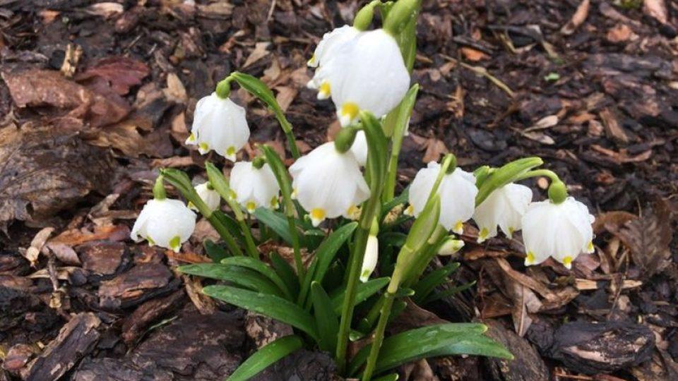 Příroda položila v zámeckém parku v Kostelci nad Orlicí bílý koberec v podobě vykvetlých lánů bledulí