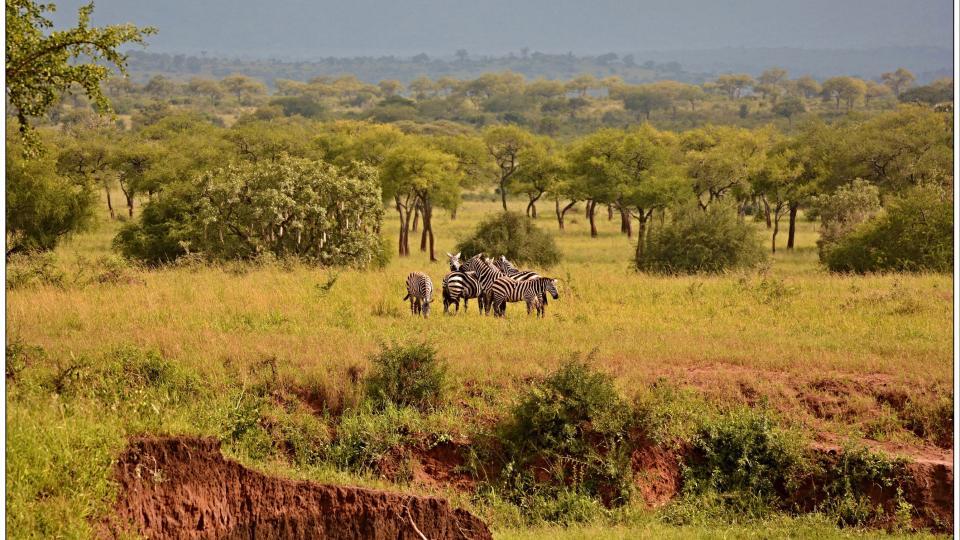Česká expedice našla v Ugandě zebru bezhřívou