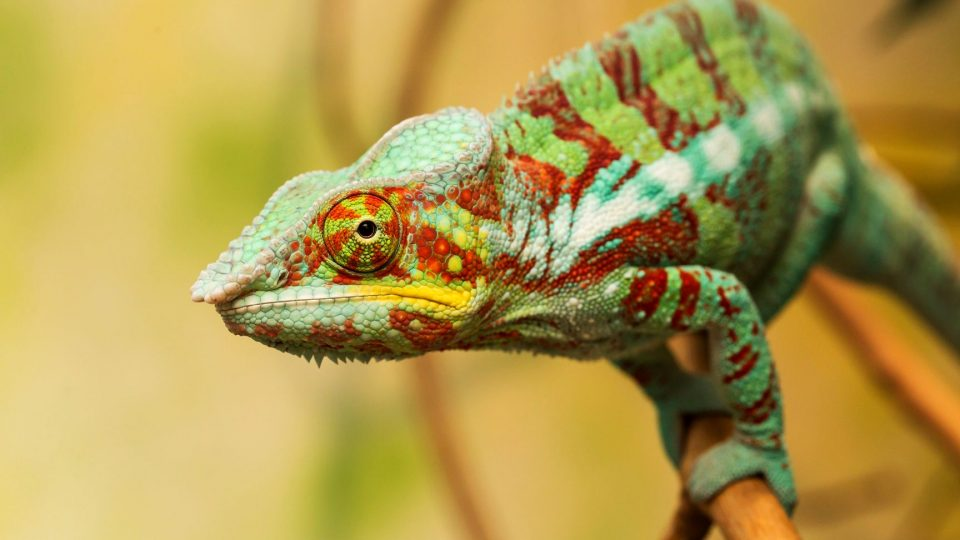 Babyboom vtrhl do nové expozice madagaskarského pohoří Makay v pavilonu Ptačí svět v Safari Parku Dvůr Králové - chameleon pardálí