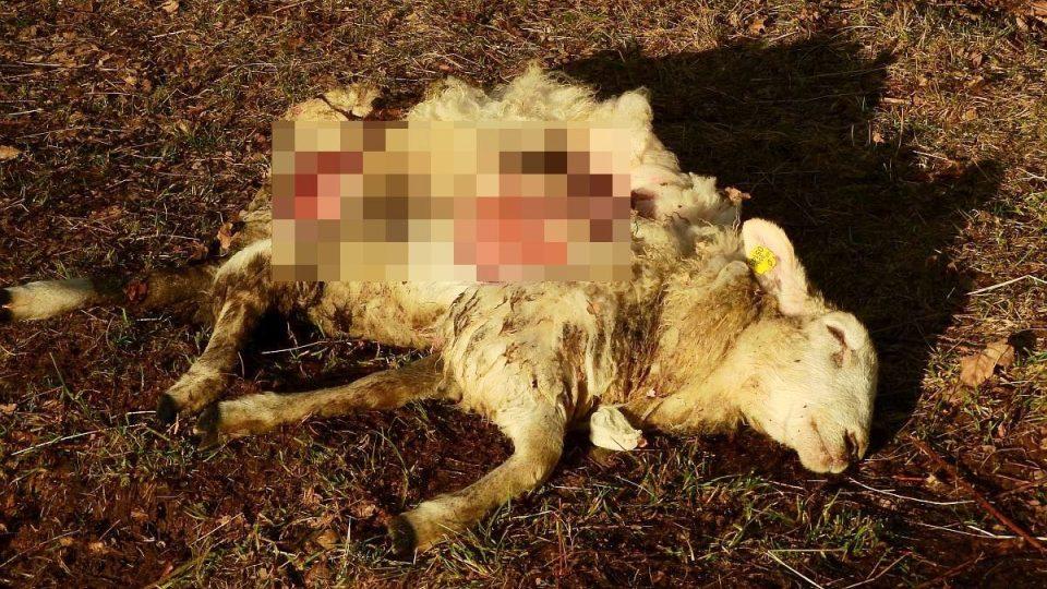 V Orlických horách se objevil první potvrzený případ útoku vlků na hospodářská zvířata