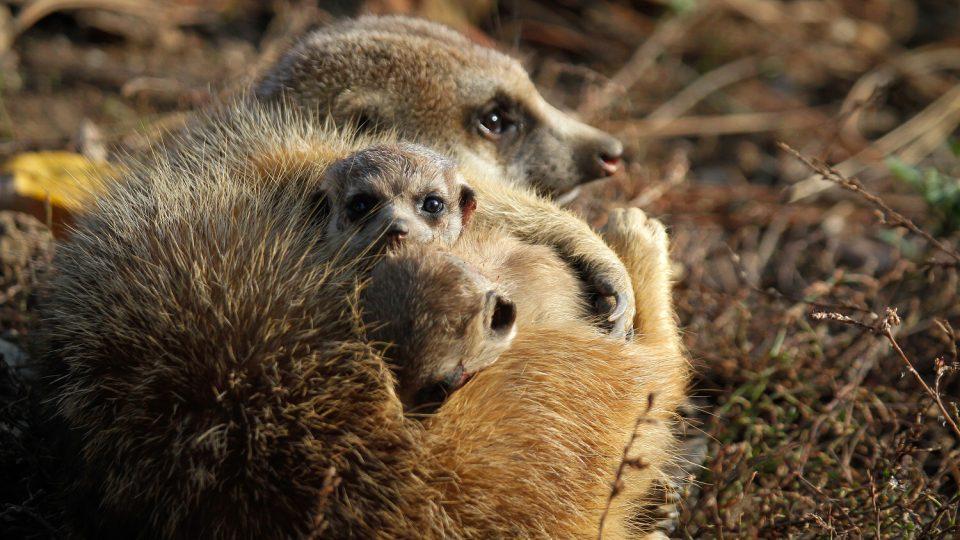 Mláďata surikat v Safari Parku Dvůr Králové nad Labem