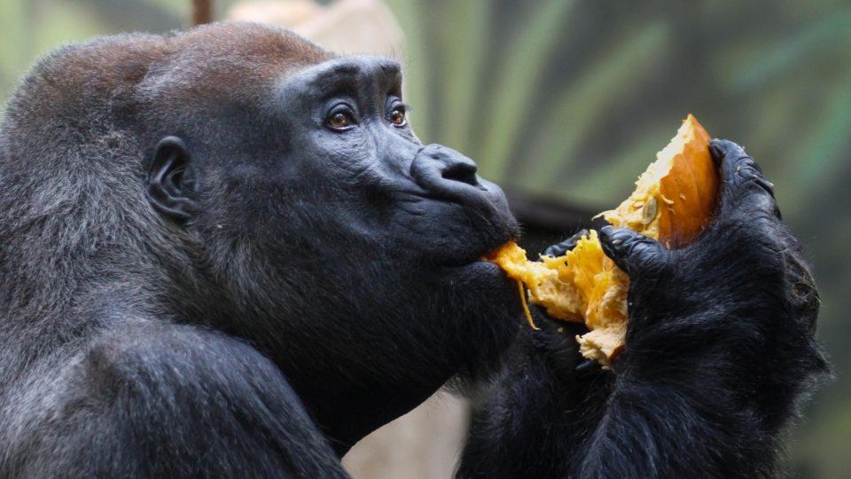 Gorilí samec Tadao si pochutnává na připravených pochoutkách