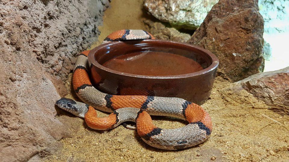 Chovat doma můžeme i hady výrazně barevné a pruhované