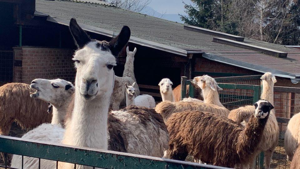 Farma Wenet Broumov kvůli nedostatku peněz chystá prodej desítek svých zvířat