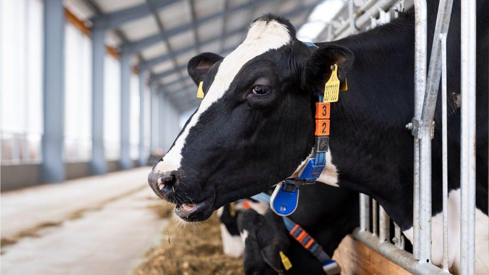 V Radimi u Jičína vyrostl nejmodernější robotizovaný kravín v Česku