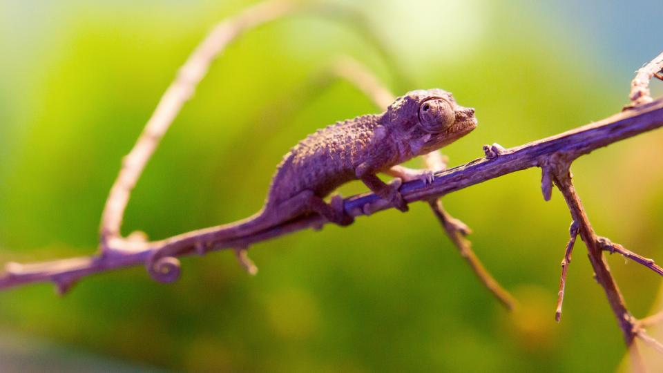 Chameleoni v Safari Parku Dvůr Králové