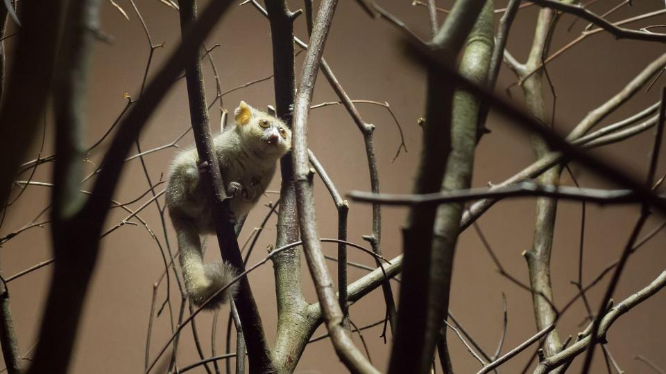 Repliku dutiny baobabu v Safari Parku Dvůr Králové obývají nejrůznější živočichové