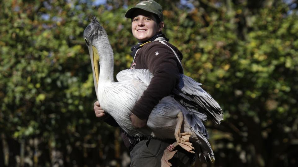 Odchyt pelikánů v Safari Parku Dvůr Králové